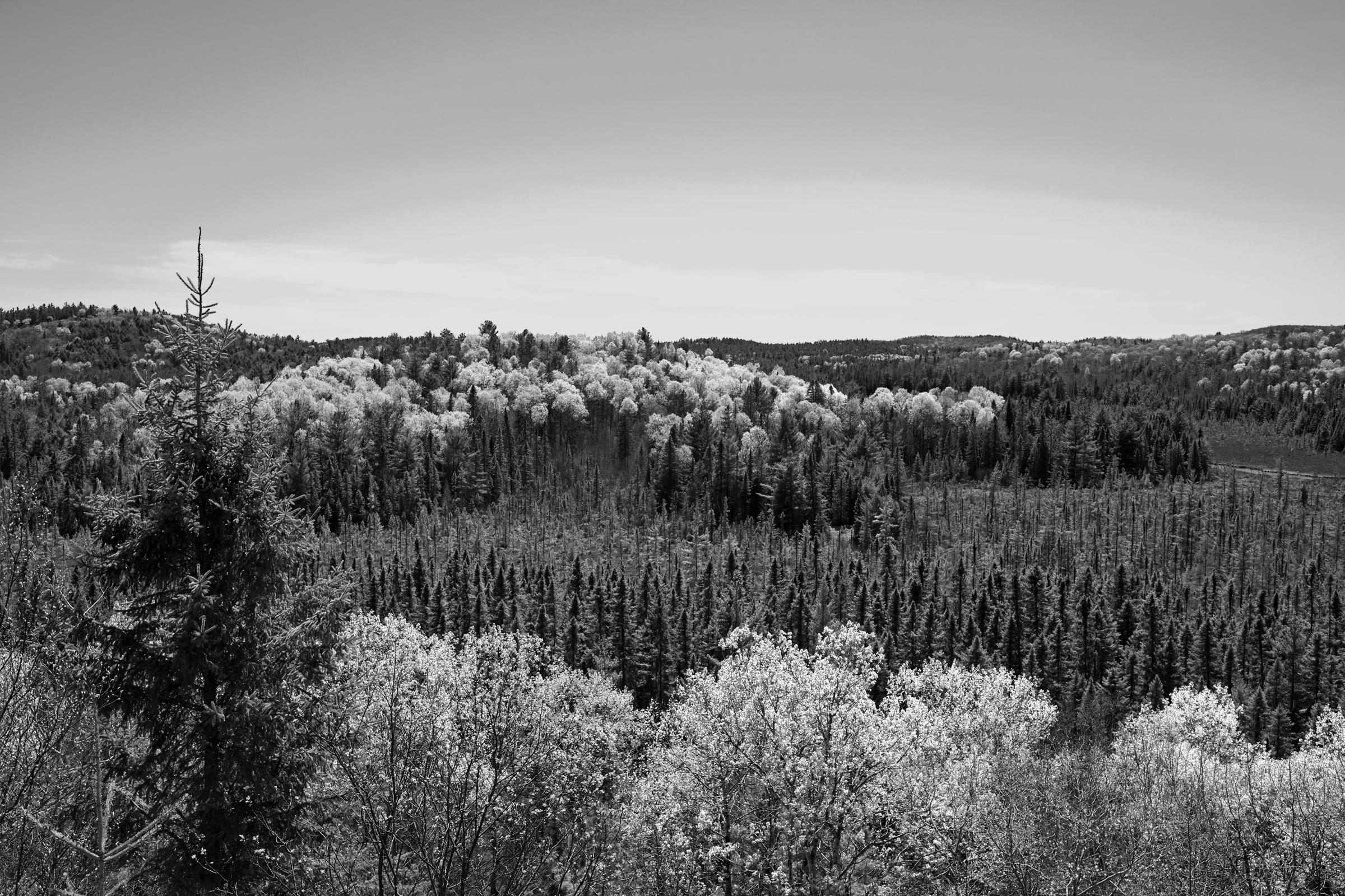 John Faragher Algonquin Forest in Spring 2019