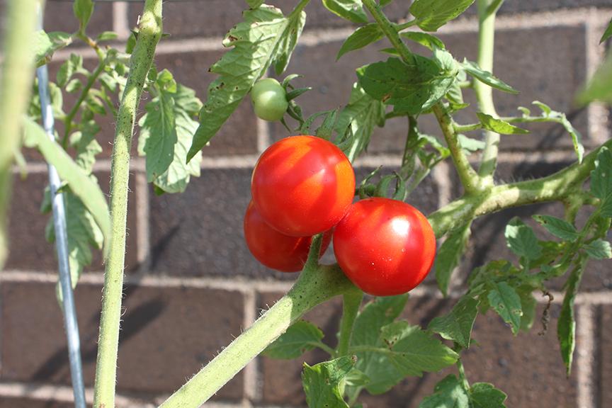 Gardening_cherry tomatoes.png