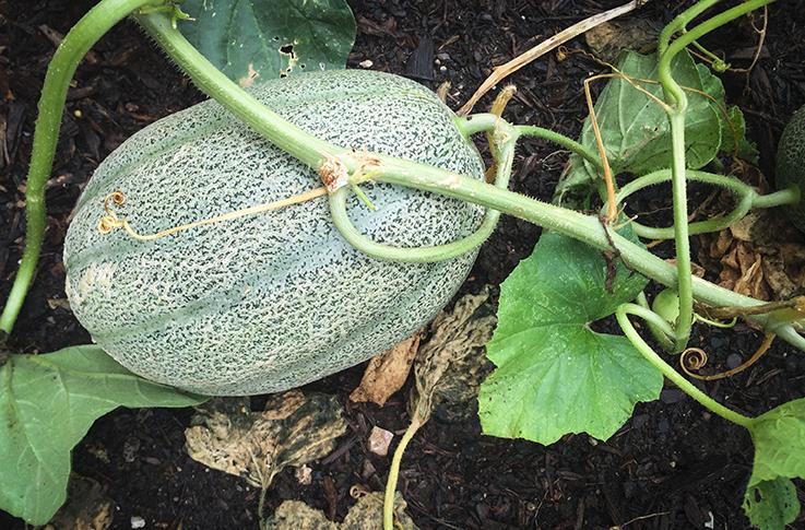 Gardening_Melon.png