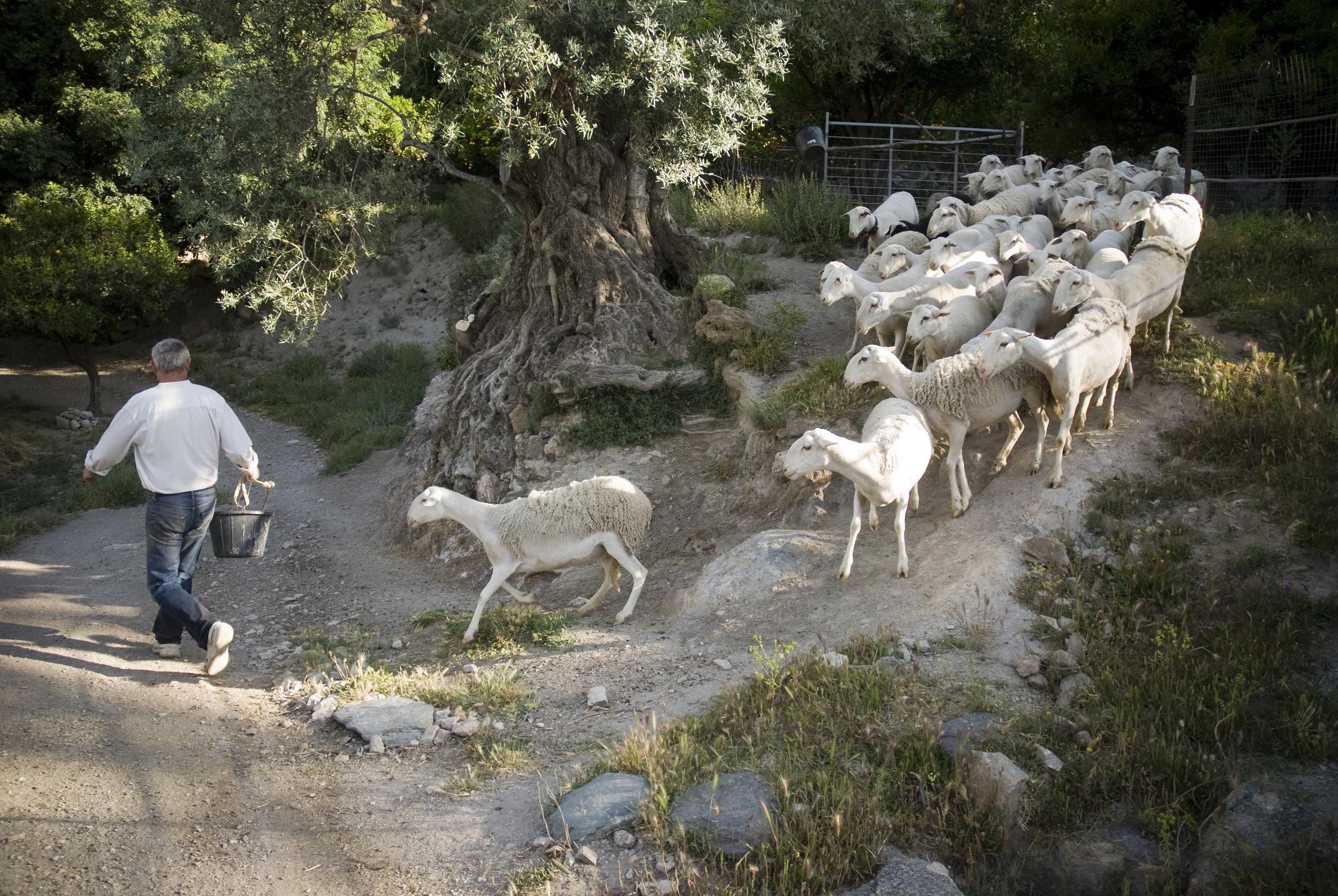 chris pursued by sheep.jpg