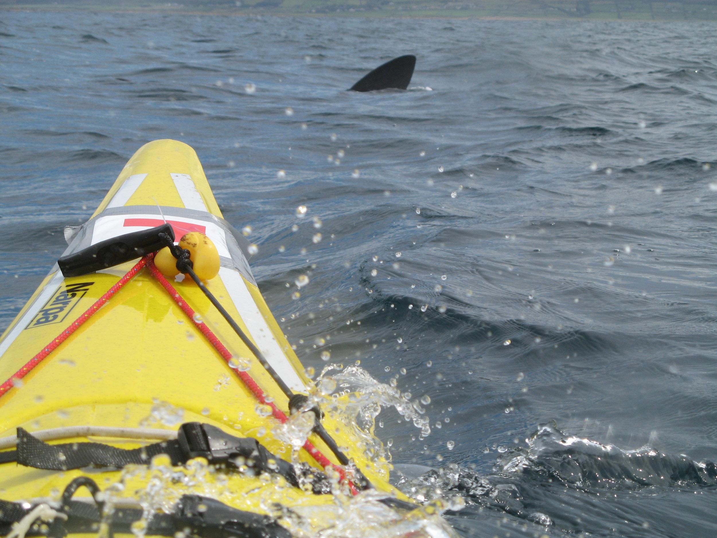 07 basking shark 5.jpg