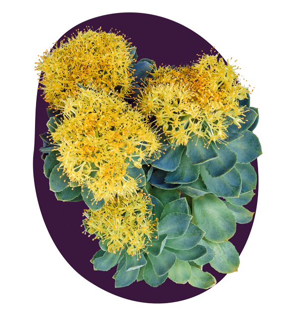 rhodiola_knockout_crop_crosshatch_grade_splat_png24_v02.png