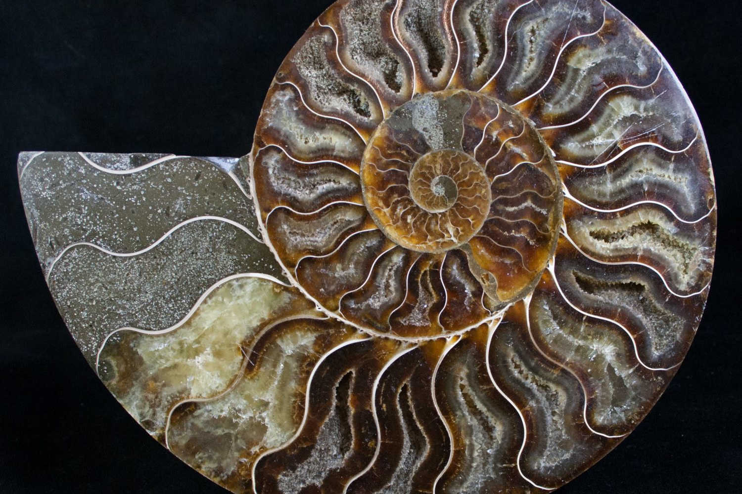 AMMONITES - Ammonites are part of an extinct group of marine mollusc animals that lived from 66 to 201 million years ago, during the Cretaceous and Jurassic periods. They had a coiled external shell similar to that of the modern nautilus. Our ammonites are sourced from Madagascar, an area renowned for producing beautifully preserved ammonite fossils, many of which display beautiful patterns that have been agatised. You can often see the inner chambers of an ammonite preserved as hollow cavities lined with crystals.