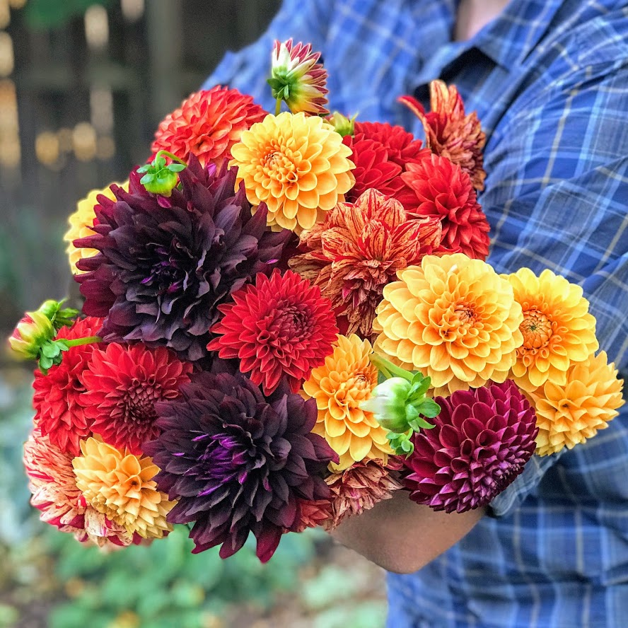 Organic, locally grown, dahlias. A bunch of dahlias held in the arms of Fort Collins flower farmer and florist.