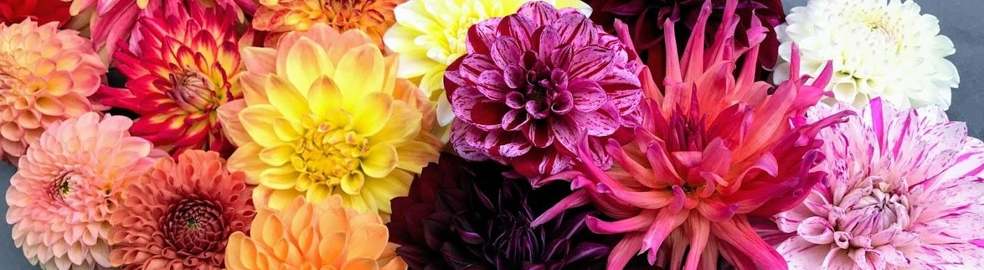 Locally grown organic flowers. Colorful dahlias.