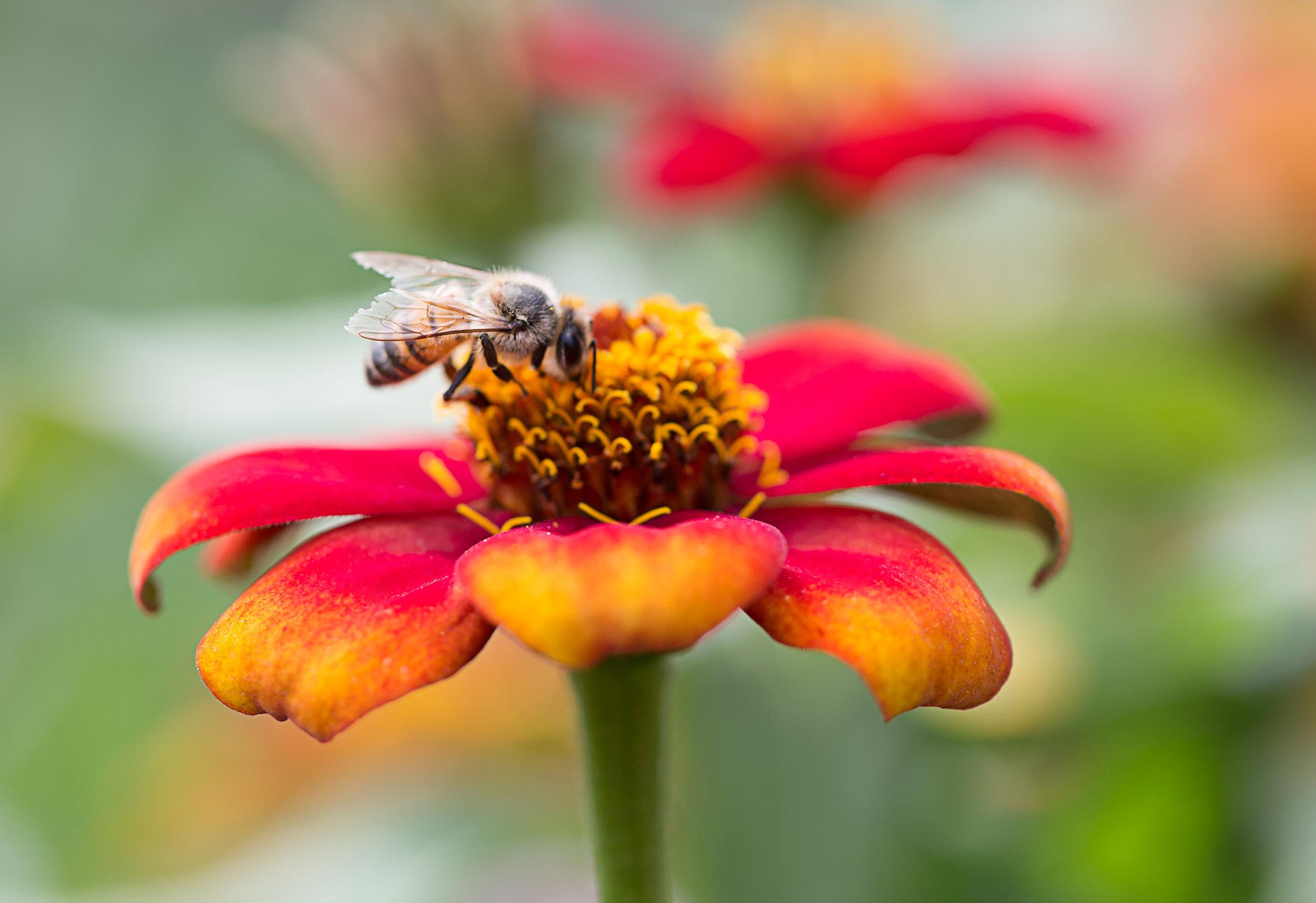 #MacroPhotography #Bee #Nature #WallFlower-Photography