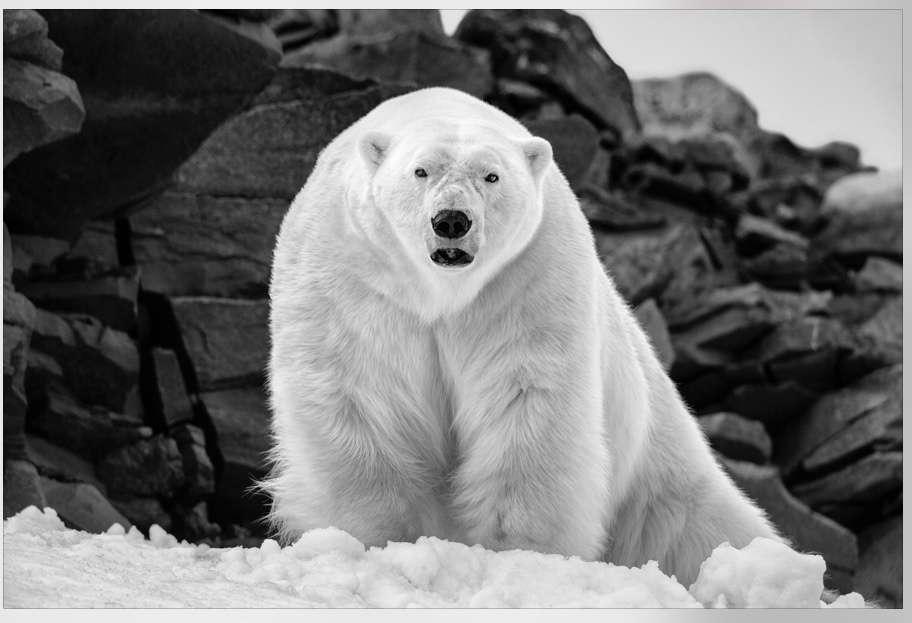 Photo By Paul Nicklen  Polar Wisdom   Svalbard, Norway