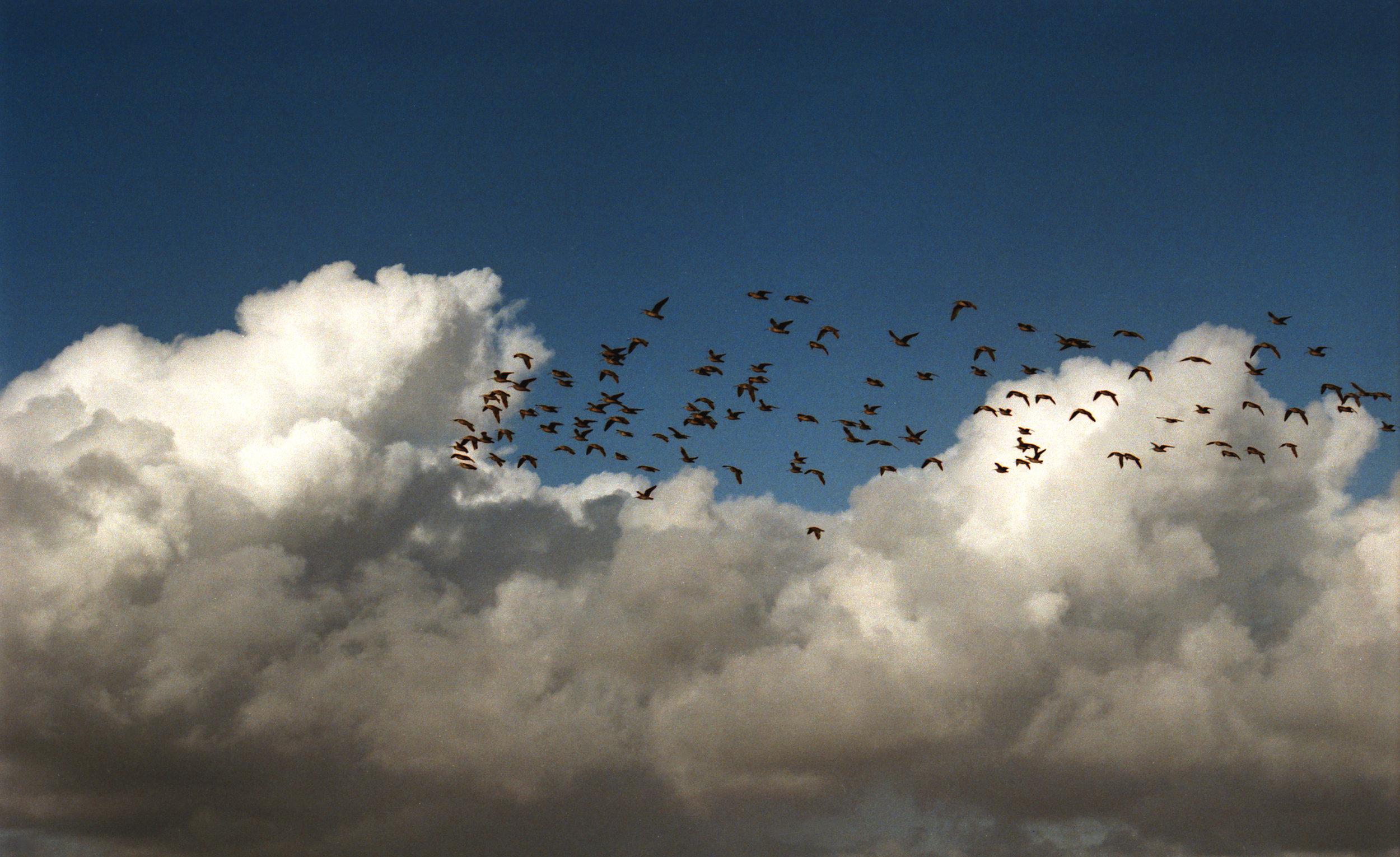 Bandada de pájaros, Pichilemu.jpg