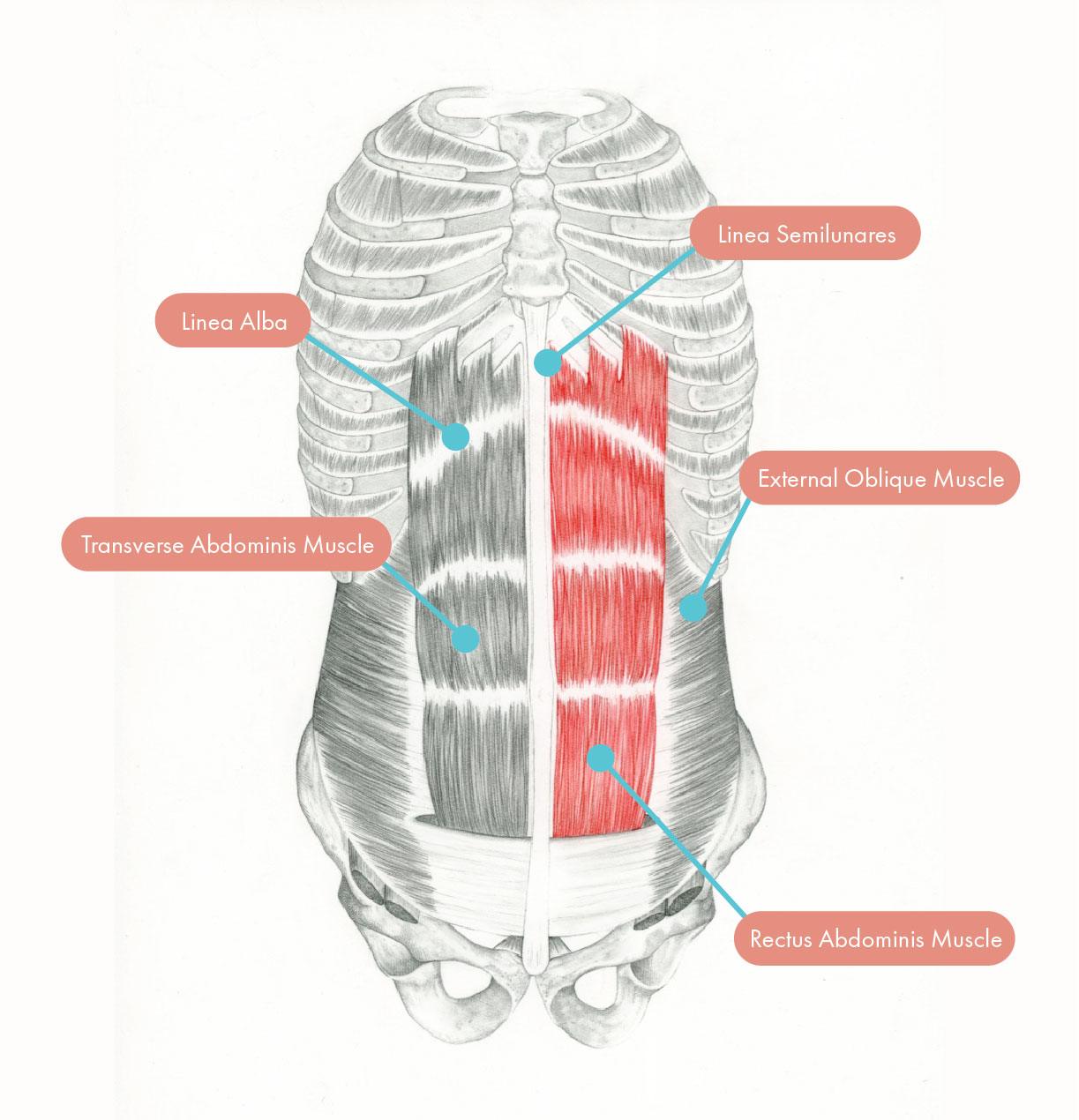 Illustration of the anterior abdominal wall demonstrating the anterior rectus sheath, linea alba, linea semilunares, and the ventral muscles.