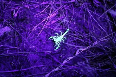 Scorpion under black-light