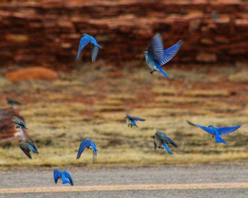 Flock of Mountain bluebirds