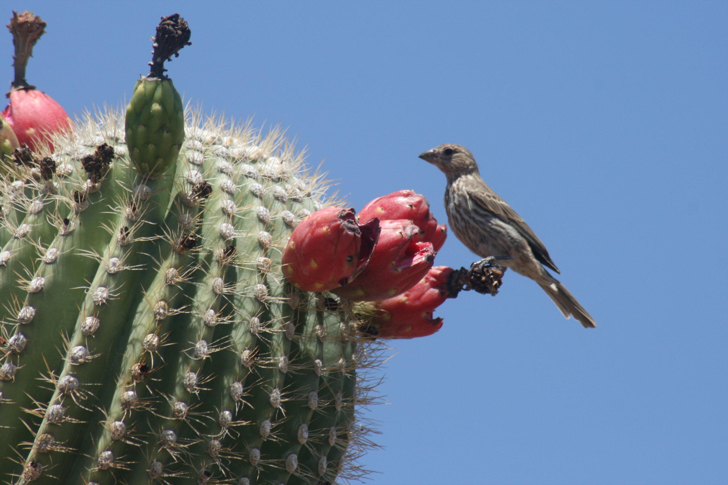 Saguaro_cactus_fruits_with_bird.jpg