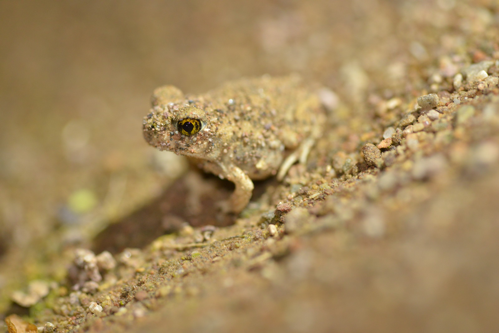 Front cover_Spadefoot toad_GA-X3.jpg