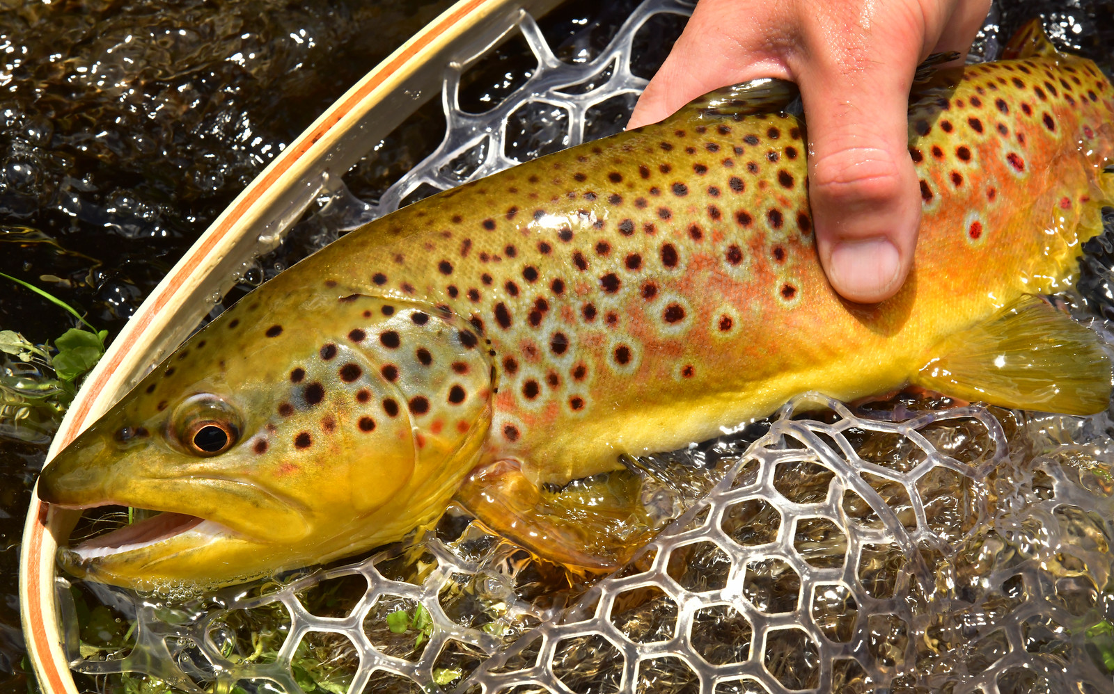 AZGFD Brown trout White Mts.-X3.jpg