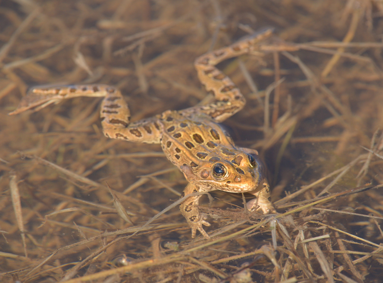 AZGFD Northern Leopard frog servey 3-17-X2.jpg