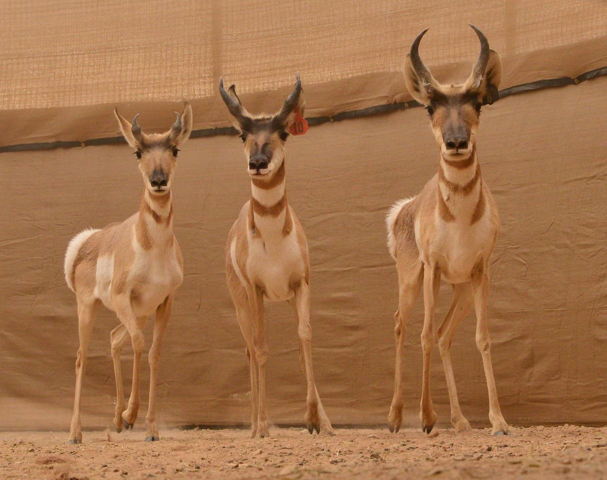 AZGFD Sonoran Pronghorn capture pen GA-X2.jpg