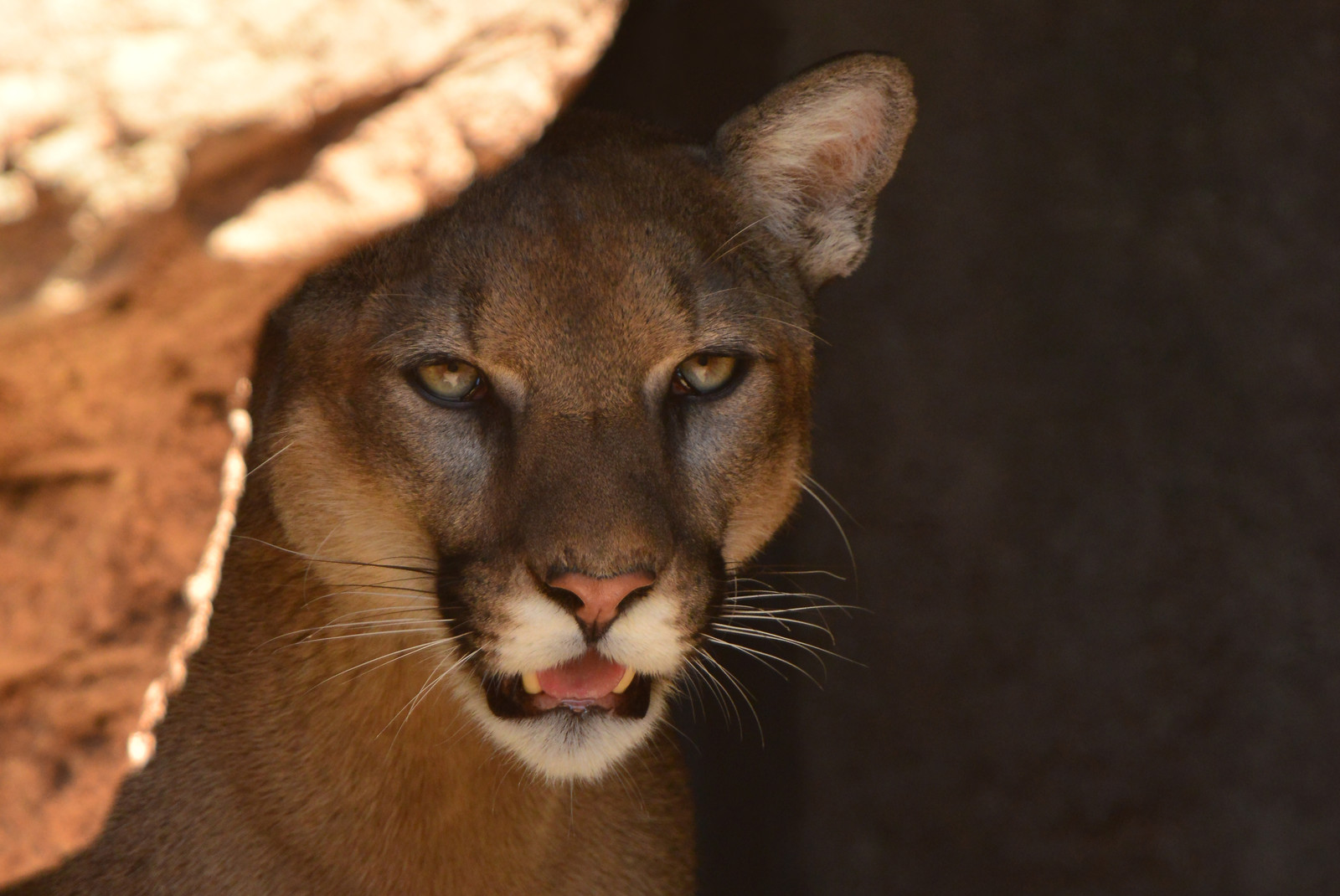Mountain Lion-GA-7 (2)-X3.jpg