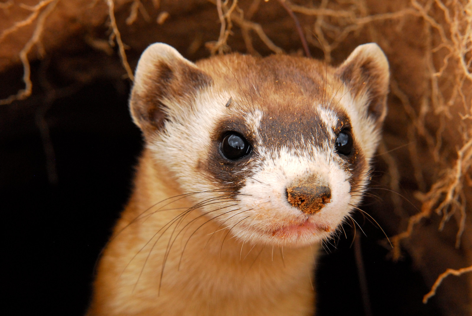 Black-footed ferret-AZGFD-George Andrejko-105-X3.jpg