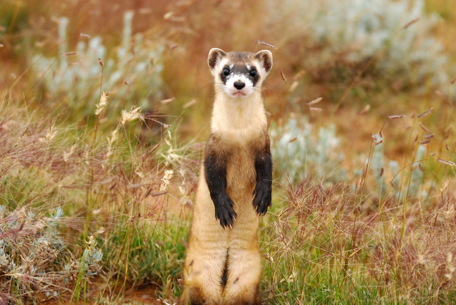 Black-footed ferret-AZGFD-George Andrejko-standing-X3.jpg