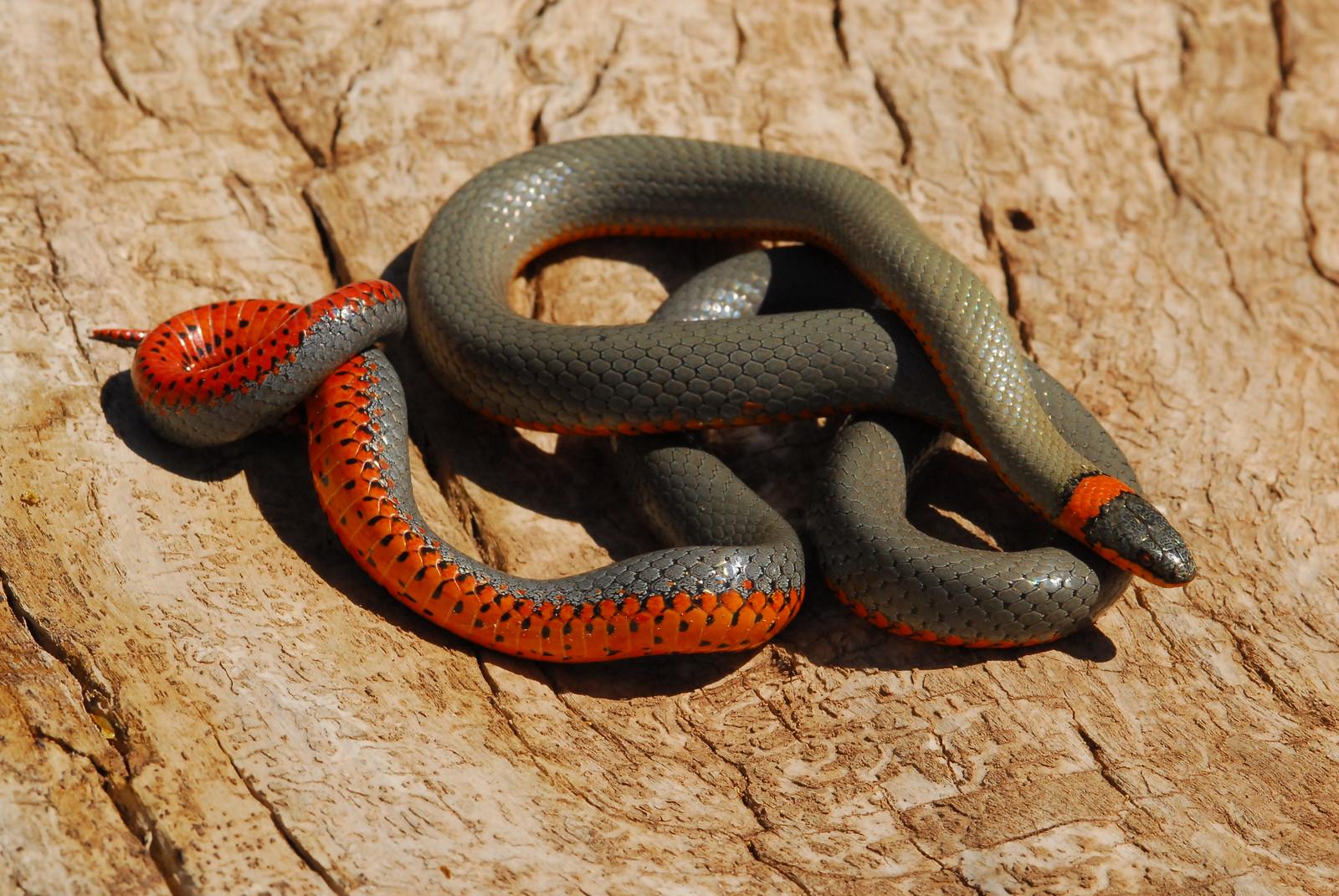 Ring-necked snake-AZGFD-GA-X3.jpg