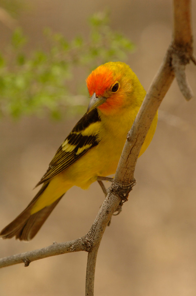 Western tanager_AZGFD_2-X2.jpg