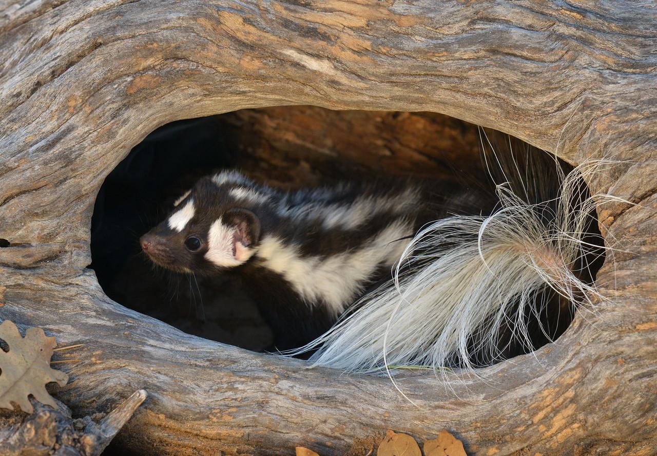 Spotted Skunk-X2.jpg