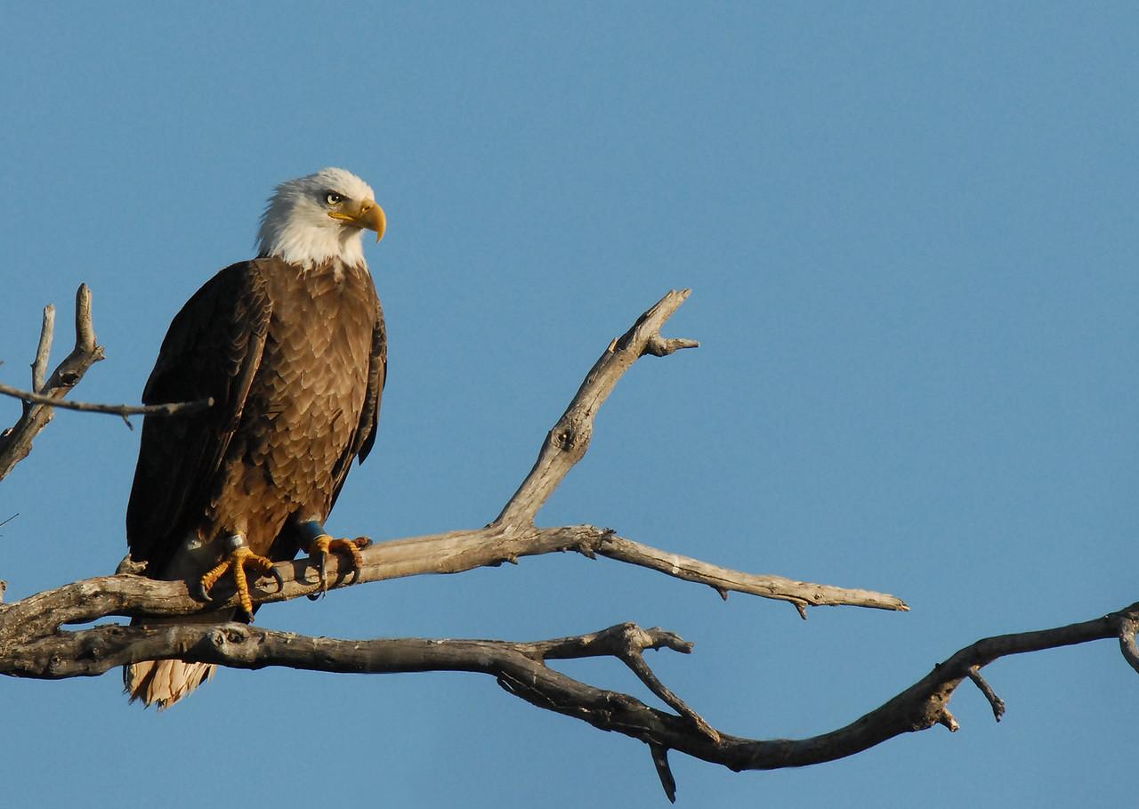 Bald Eagle AZGFD-George Andrejko----X2.jpg