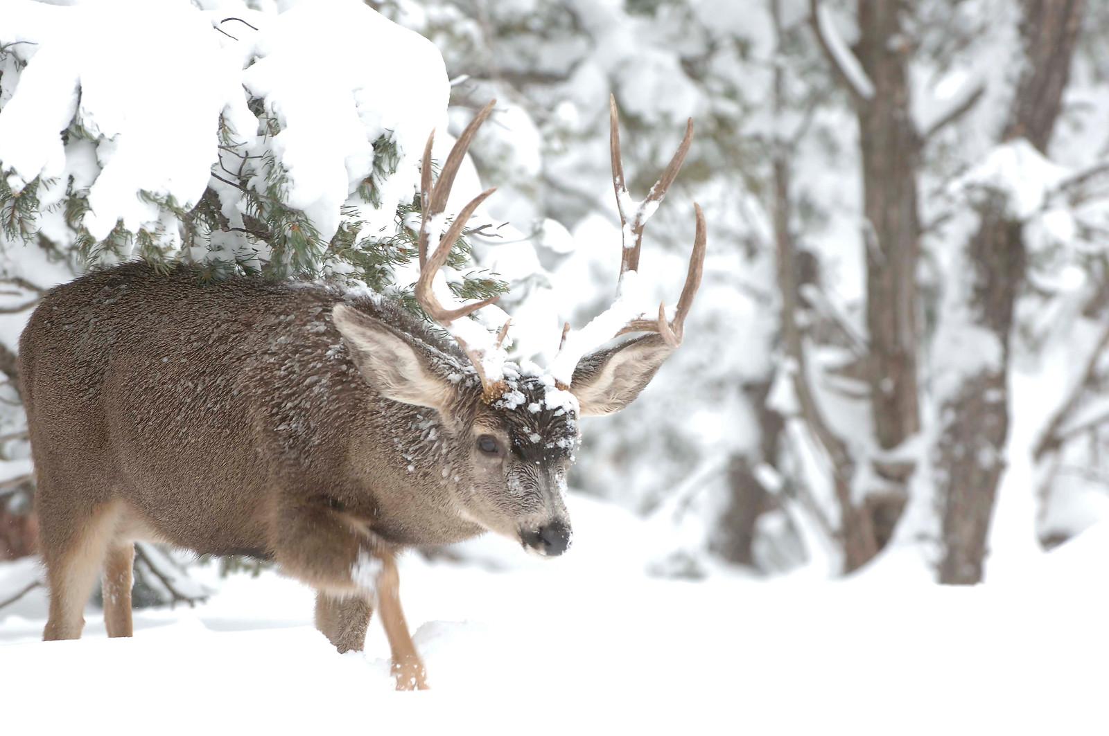 Mule deer buck-George Andrejko-48-2-X3.jpg