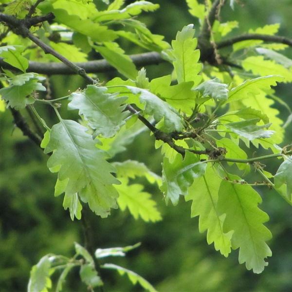 Moss-cupped Oak