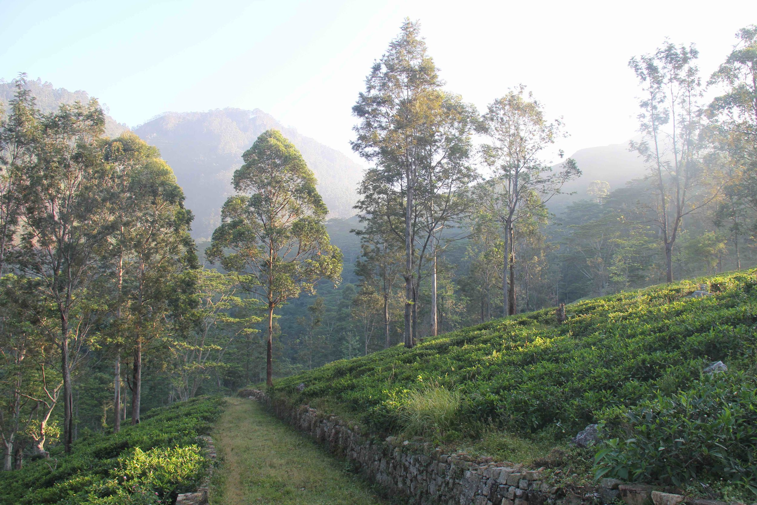Tea fields (small).jpg