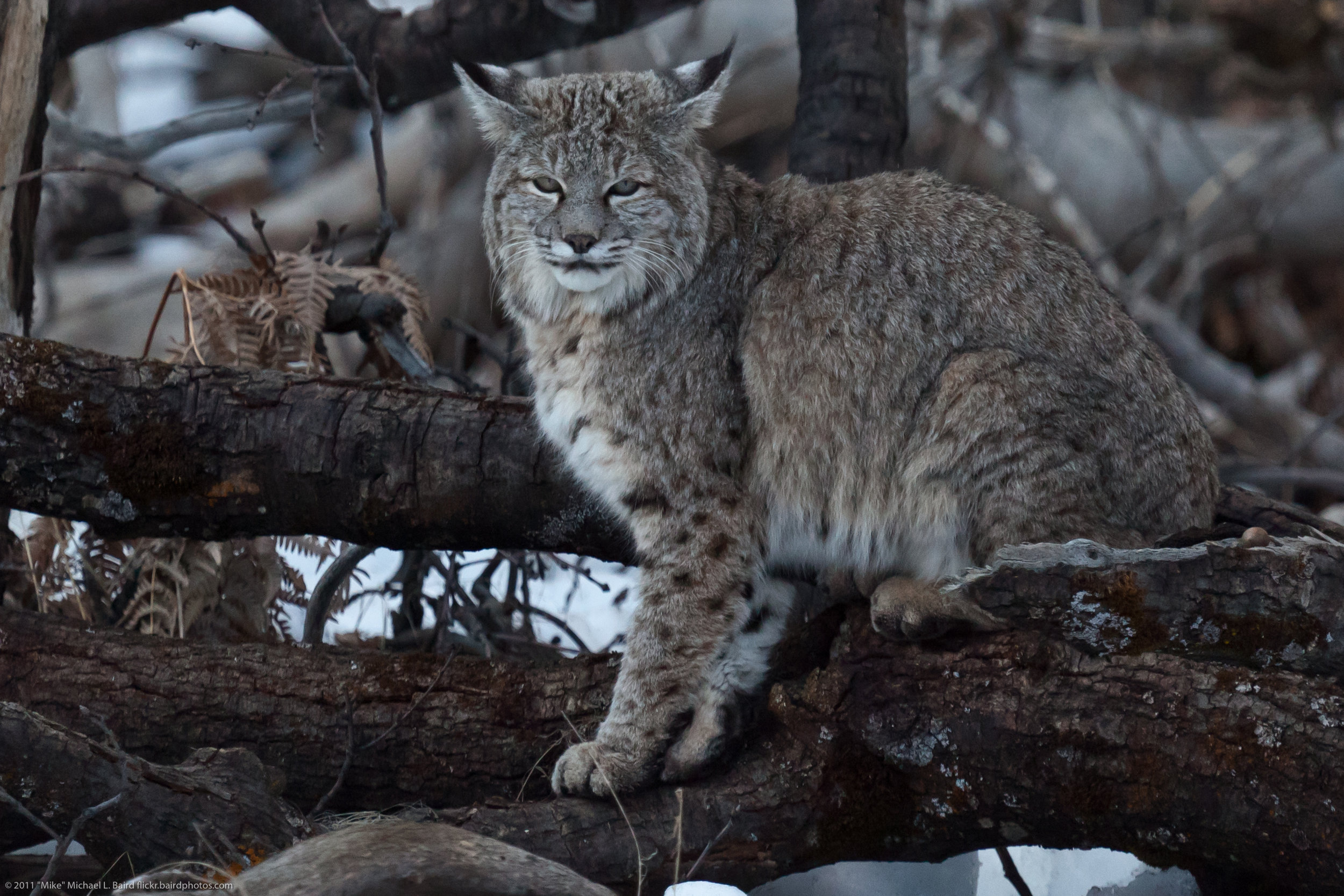 Bobcat_in_Yosemite.jpg
