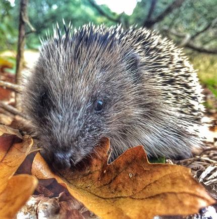 Barnes Hedgehogs -