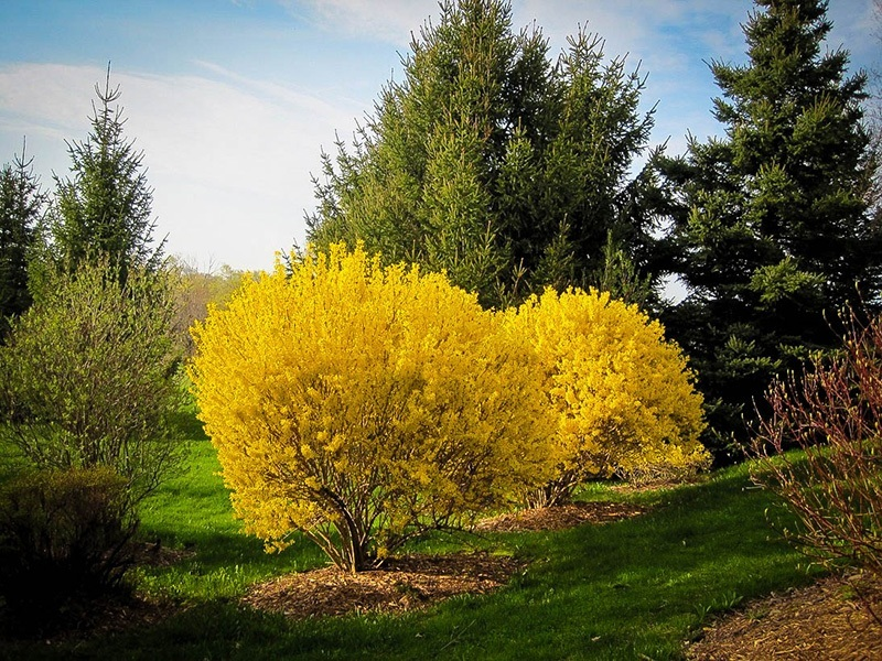 lynwood-gold-forsythia-3.jpg
