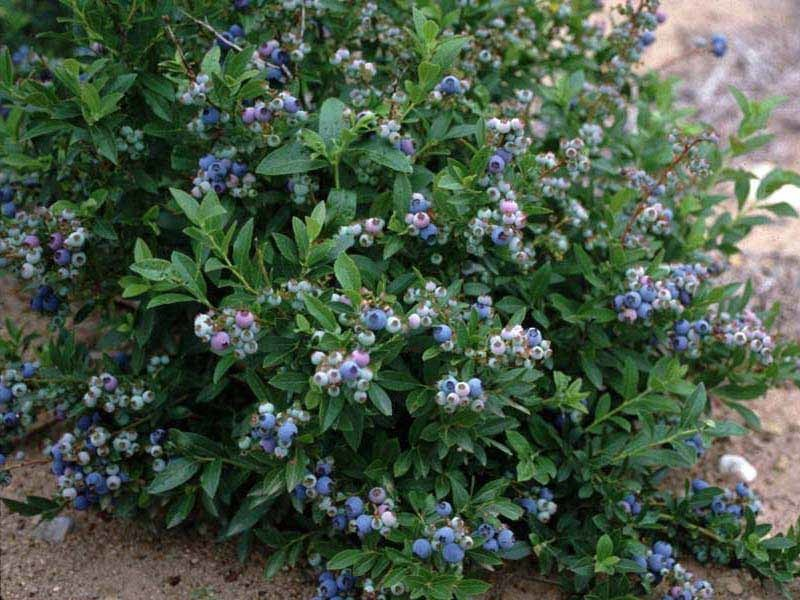 LOW_BUSH_BLUEBERRY__95932.1515737359.jpg