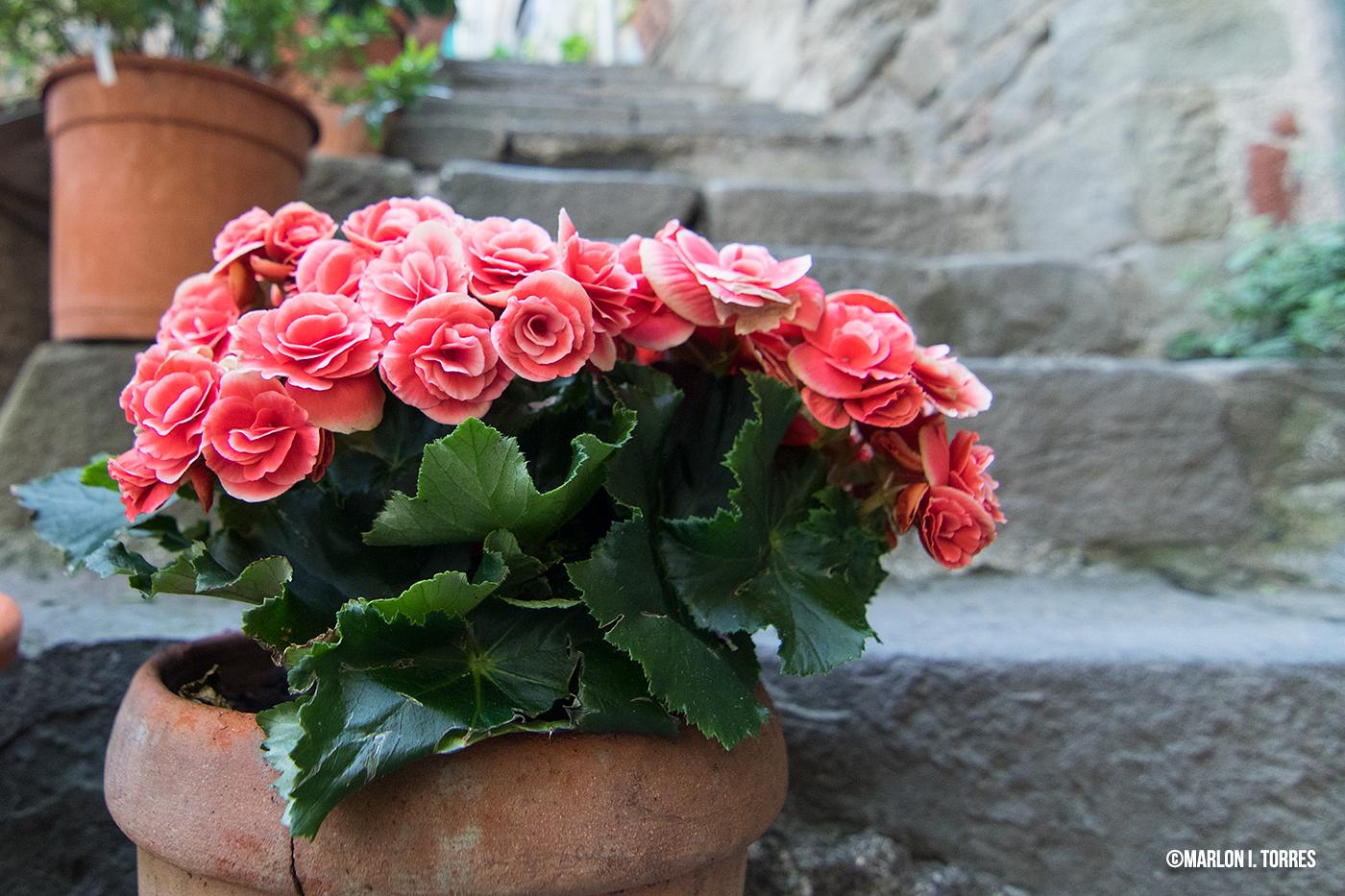 flores_corniglia.jpg