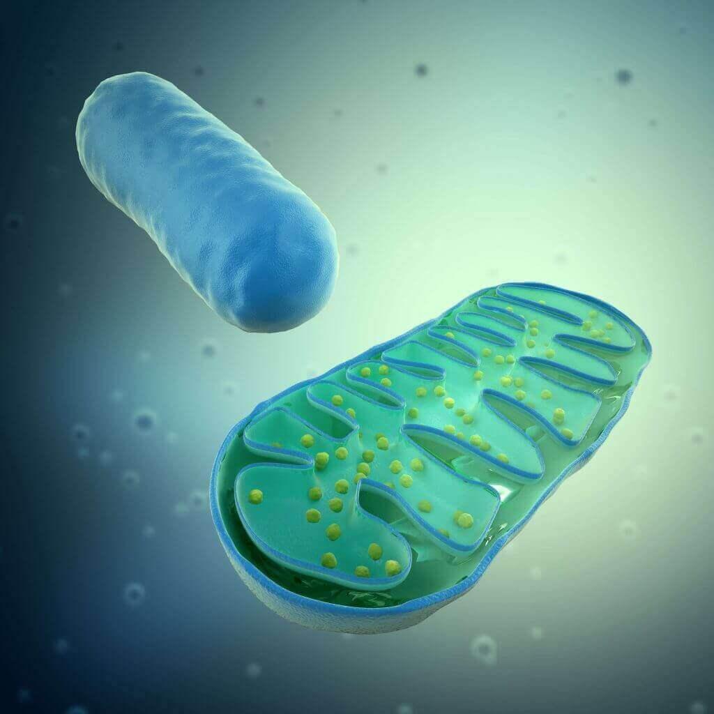 mito-chondria-Aging-and-PBM-1024x1024.jpg
