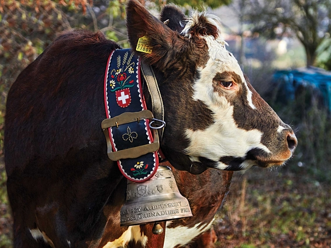 A dairy cow wearing a traditional Swiss bell. By  Christina Holmes