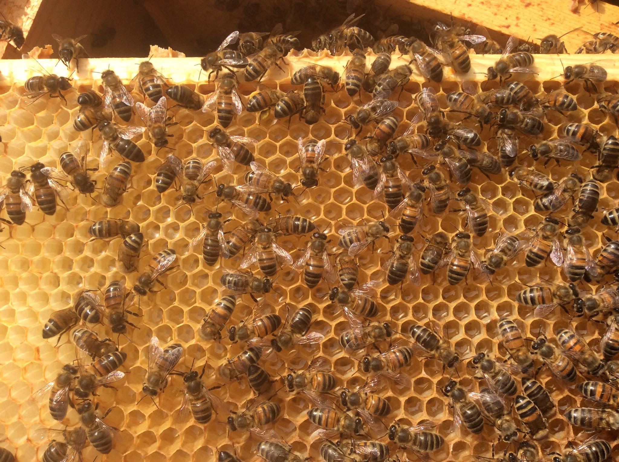 Herefordshire Bees.JPG