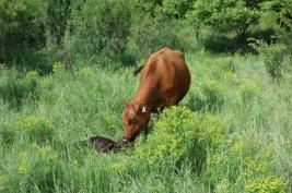 Teaching cattle to eat leafy spurge