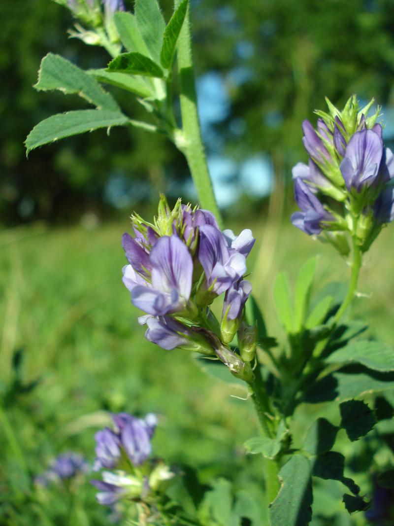 Alfalfa-Closeup-R.jpg