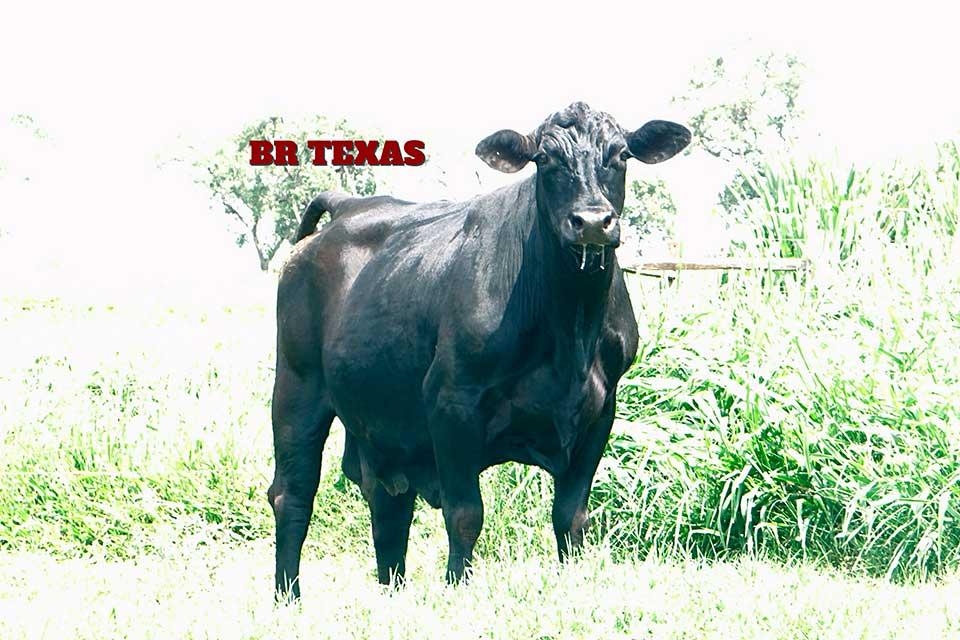 Br Texas D645 - Composição Racial: 3/8 Zebuína 5/8 TaurinaNº de Gerações: SegundaNascimento: 25/09/2001Tatuagem: D645Ver registro