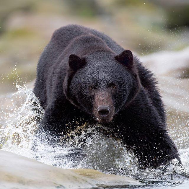 Black bear, Vancouver Island 2019  Thank you @connorstefanison for a really great trip. . . .  #wms_animals #animalelite #animal_sultans #amazing_shots #igbest_shotz #majestic_wildlife_ #igscwildlife #allnatureshots #animalsmood #exclusive_animals #majestic_wildlife #igbest_shotz #animalselite #natgeoyourshot #featured_wildlife #natgeo #natgeotravel #natgeowild #canonbringit #outdoorphotographer #outdoorphotomag#canon