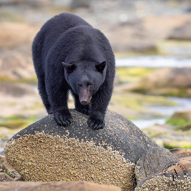 Black bear, Vancouver Island 2019 . . . . . #wms_animals #animalelite #animal_sultans #amazing_shots #igbest_shotz #majestic_wildlife_ #igscwildlife #allnatureshots #animalsmood #exclusive_animals #majestic_wildlife #master_shots #igbest_shotz #animalselite #natgeoyourshot #worldphotography #natgeo #natgeotravel #natgeowild #canonbringit #outdoorphotographer #outdoorphotomag#canon