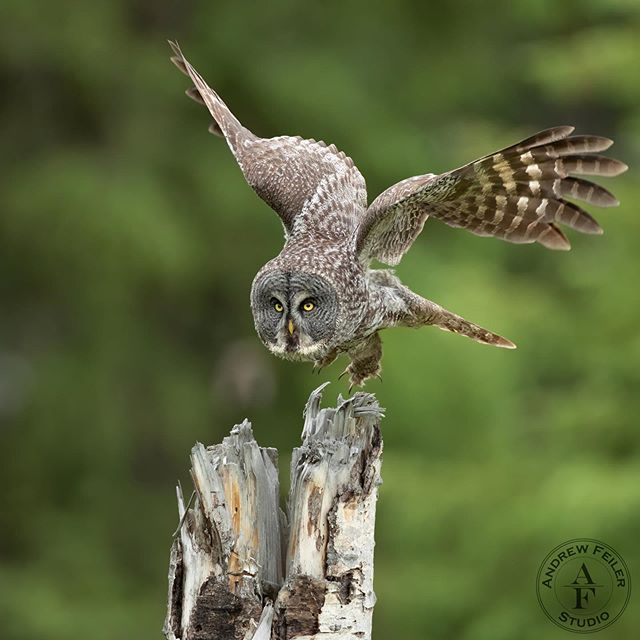 Great gray owl, BC 2019 . . . #wms_animals #animal_sultans #majestic_wildlife_ #igscwildlife #exclusive_animals #ic_animals #global4nature #master_shots #igbestbirds #natgeoyourshot #nature_sultans #your_best_birds #bb_of_ig #best_birds_of_ig #feather_perfection #birdsofinstagram #nature_perfection #pocket_birds #bird_brilliance #ig_discover_birdslife #bestbirdshots #canonbringit #onlyowls #canon #kings_birds_ #featured_wildlife .
