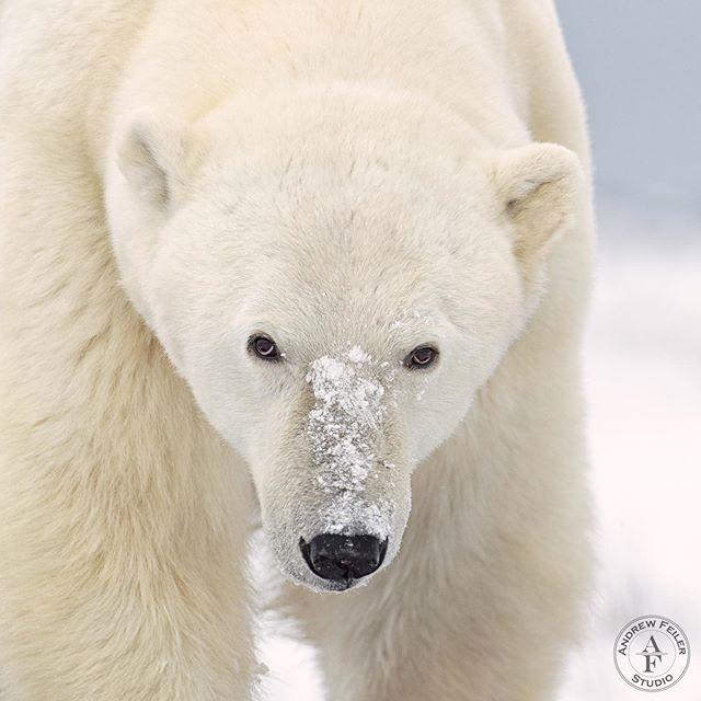 Polar bear, Canada 2019  Thank you @fredlemirephoto for a great week in Churchill.  You and your team were awesome... . . . #wms_animals #featured_wildlife #animal_sultans #amazing_shots #igbest_shotz #majestic_wildlife_ #igscwildlife #allnatureshots #animalsmood #exclusive_animals #majestic_wildlife #master_shots #igbest_shotz #animalselite #natgeoyourshot #worldphotography #natgeo #natgeotravel #natgeowild #canonbringit #outdoorphotographer #outdoorphotomag#canon