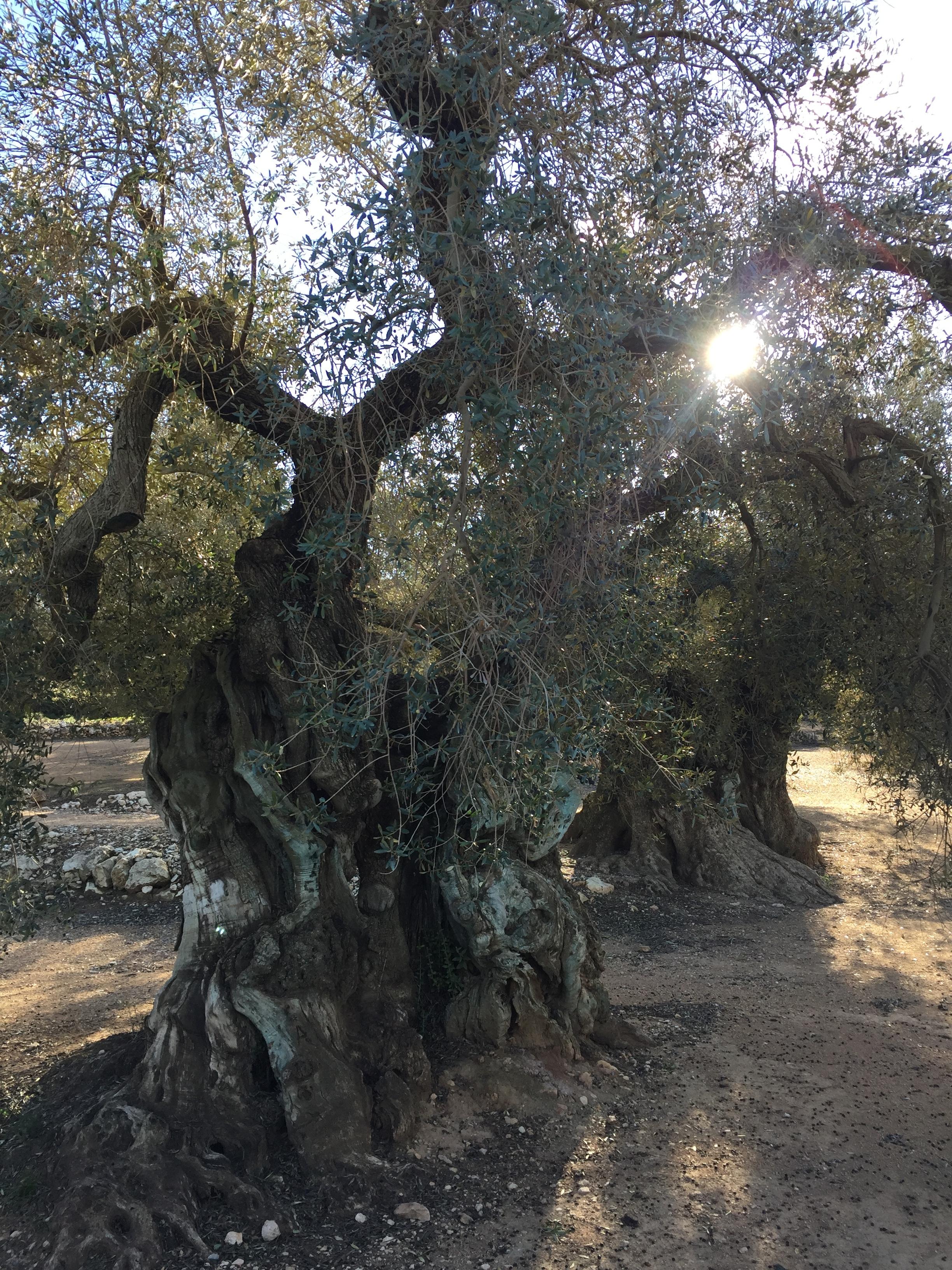 millenary olive trees.JPG