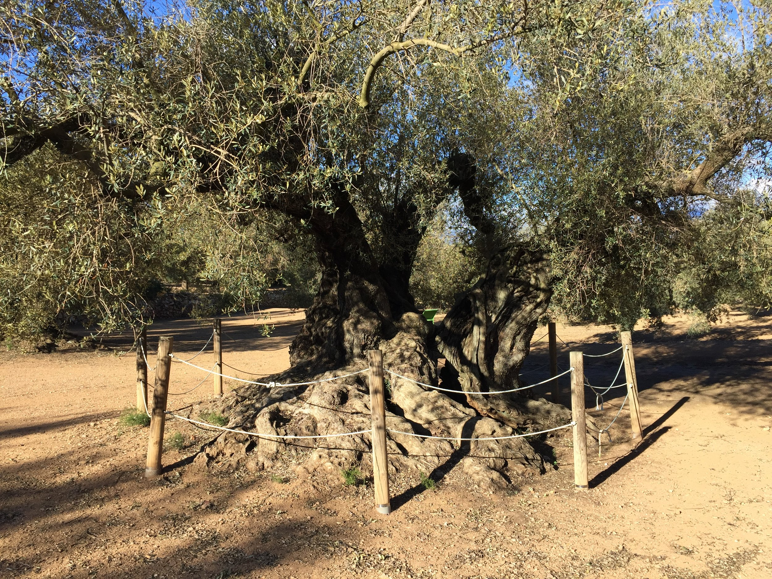 farga arion millenary olives.JPG