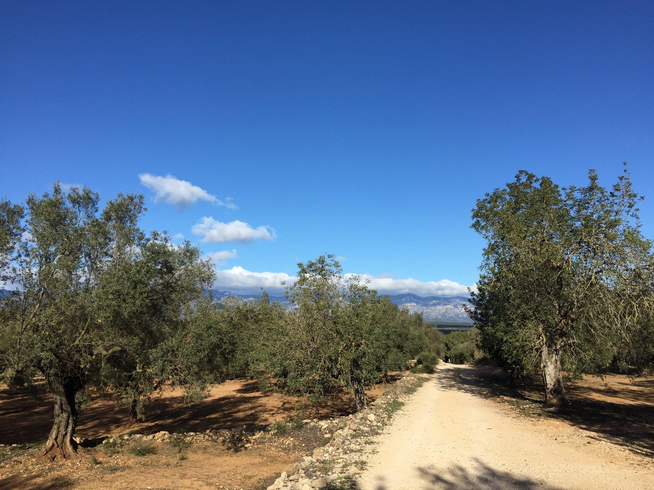 millenary olive trees ulldecona.JPG
