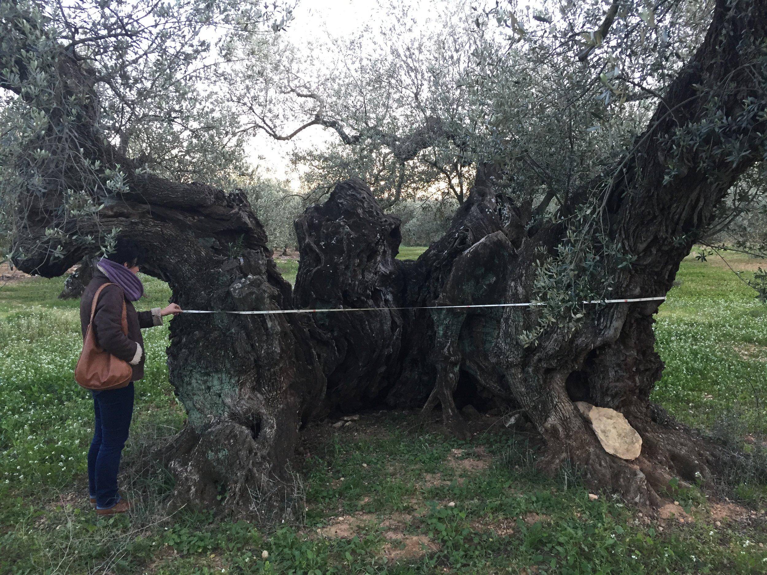 millenary olive tree measurement.JPG