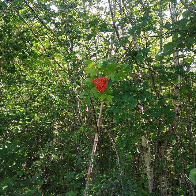 De første rognebærene i skogen!